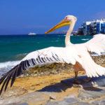 Petros, el Pelicano de Mykonos