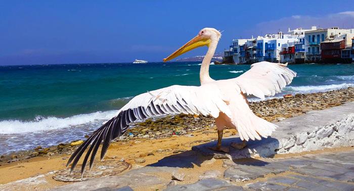 Petros el pelicano de mykonos gu a de la isla de mykonos - Fotos de pelicanos ...
